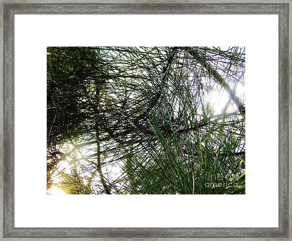 Sunshine Through Pine Needles Framed Print