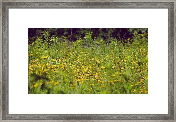 Susans In A Green Field Framed Print