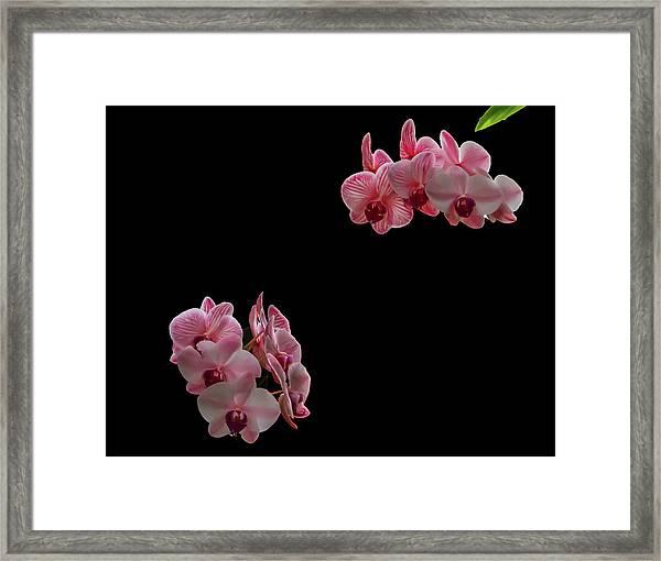 Suspended Orchids Framed Print