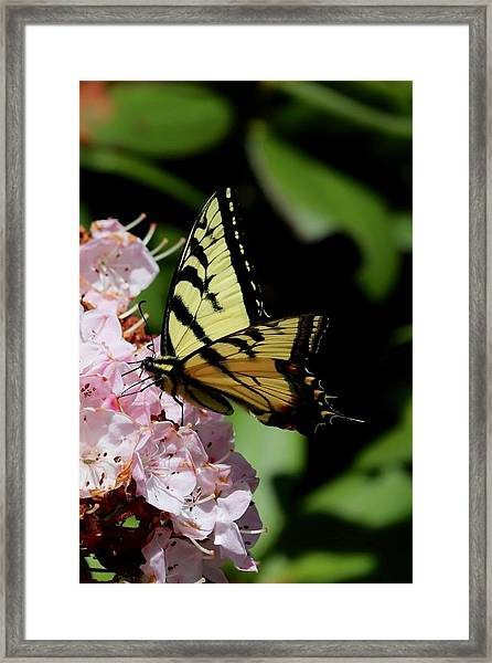 Swallow Tail On Mountain Laurel Framed Print
