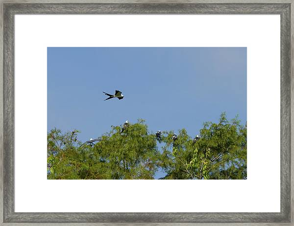 Swallow-tailed Kite Flyover Framed Print