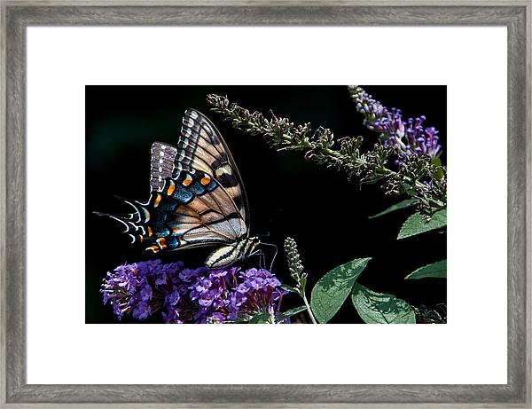 Swallowtail Posing Framed Print by Ron Plasencia