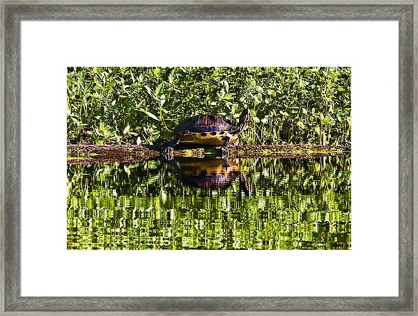 Swamp Turtle Sunning On A Log Framed Print by Michael Whitaker