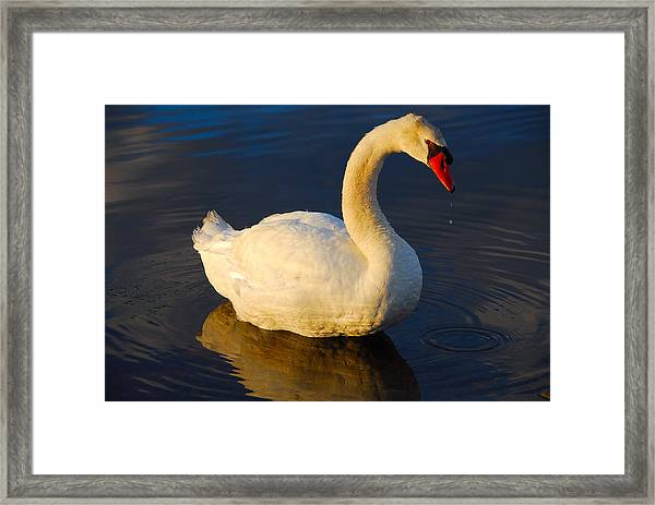 Swan Beauty Framed Print