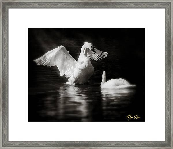 Swan Display Framed Print
