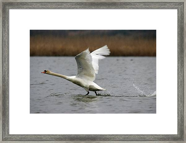 Swan During Take Off Framed Print