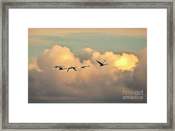 Framed Print featuring the photograph Swan Heaven by DJA Images