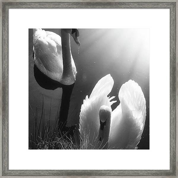 Swan Lake In Winter -  Kingsbury Nature Framed Print