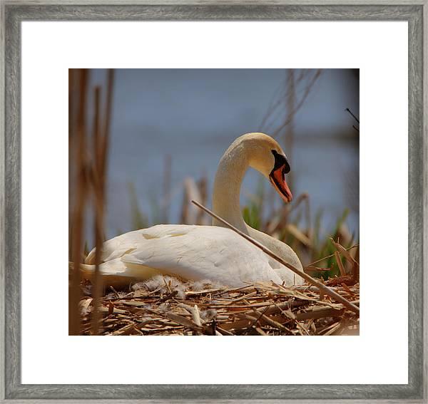 Swan Nesting Framed Print