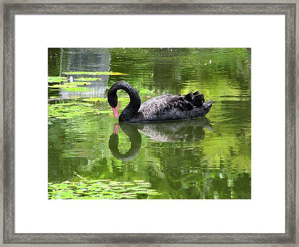 Swan Of Hearts Framed Print