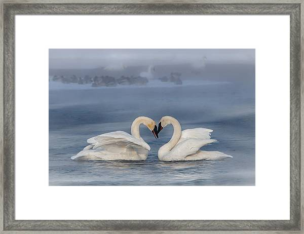 Framed Print featuring the photograph Swan Valentine - Blue by Patti Deters