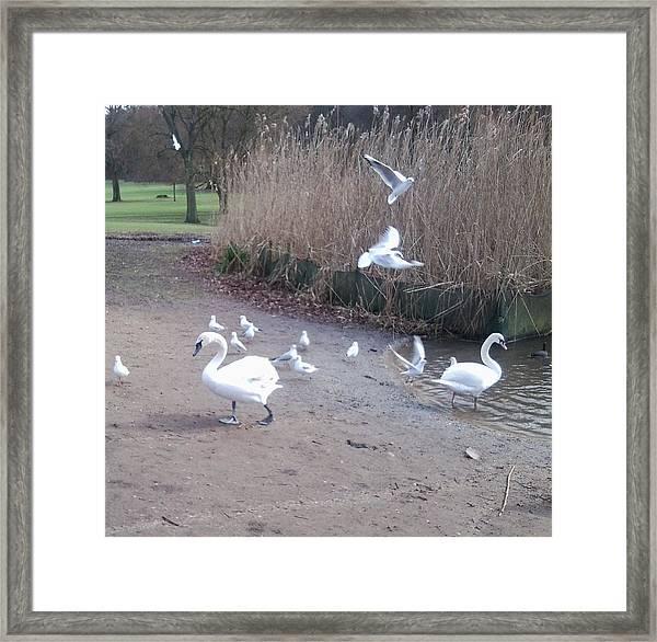 Swans 4 Framed Print
