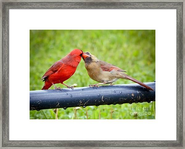 Sweet Cardinal Couple Framed Print