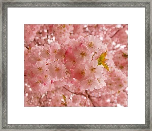 Sweet Pink- Holmdel Park Framed Print