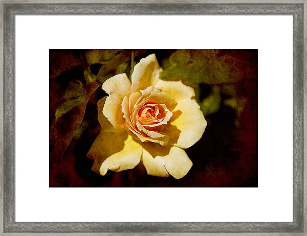 Sweet Rose Framed Print