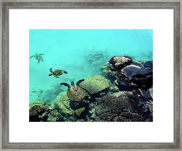 Swimming Honu Framed Print