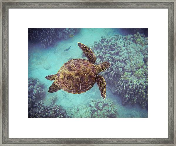 Swimming Honu From Above Framed Print