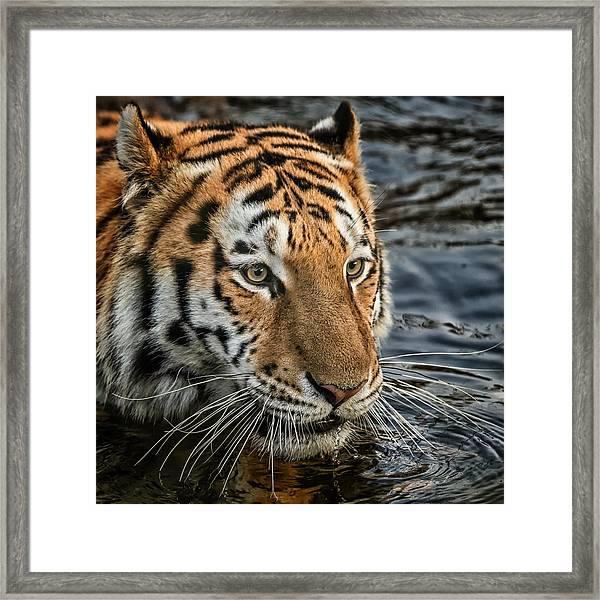 Swimming Tiger Framed Print
