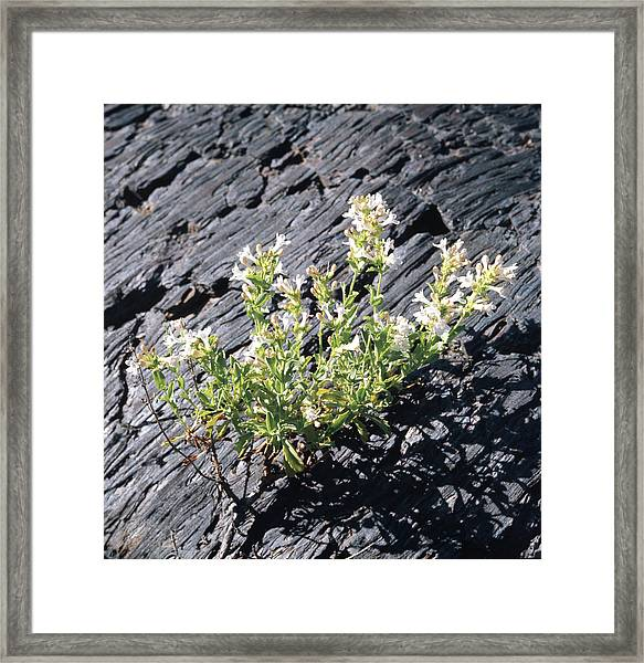 T-107709 Hot Rock Penstemon Framed Print