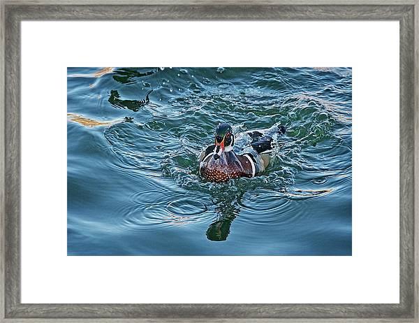 Taking A Dip, Wood Duck Framed Print