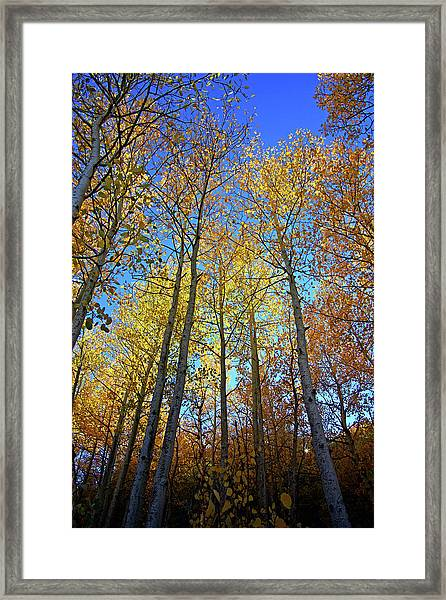 Tall Aspens Framed Print