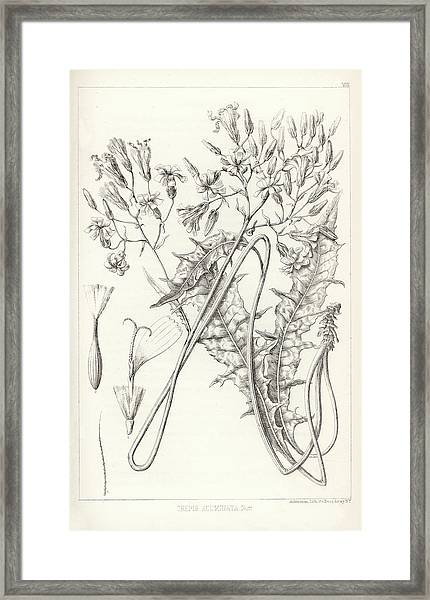 Framed Print featuring the drawing Taper Tip Hawksbeard, Crepis Acuminate by Antoine Sonrel
