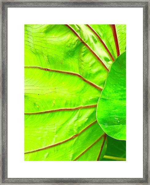 Taro Leaf Close Up In Green Framed Print