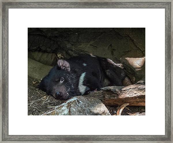 Tasmanian Devil Framed Print