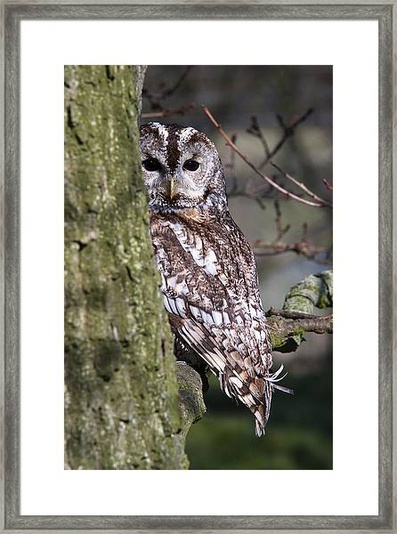 Tawny Owl In A Woodland Framed Print