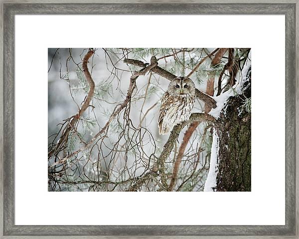 Tawny Owl In Winter Framed Print