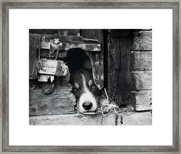 Working Border Collie Dog. Framed Print