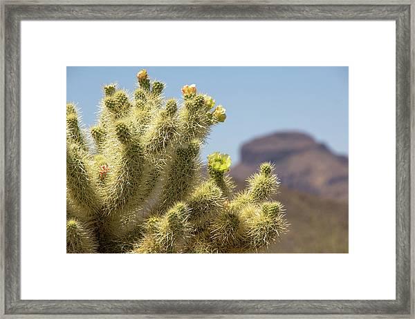 Teddy Bear Cholla Cactus With Flower Framed Print