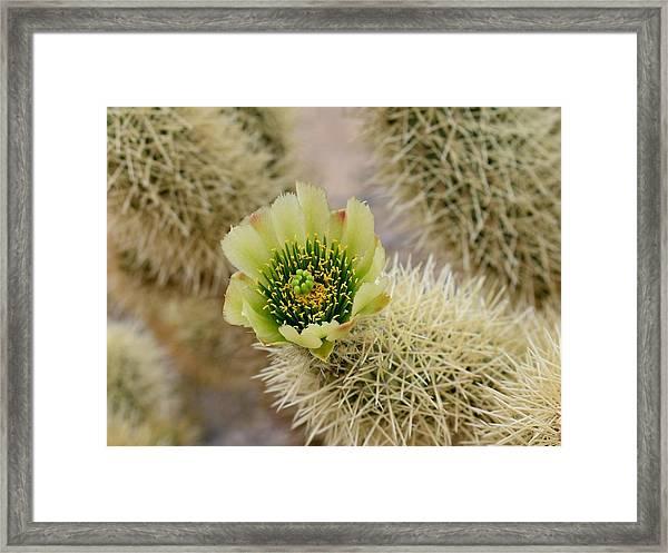 Teddy Bear Cholla Flower Framed Print