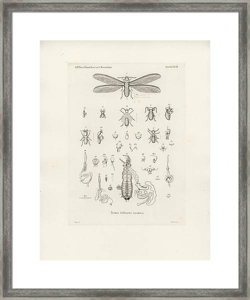 Framed Print featuring the drawing Termites, Macrotermes Bellicosus by H Hagen