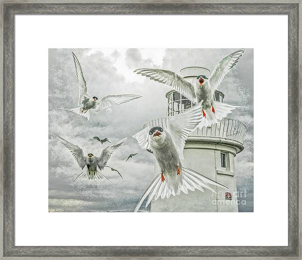 Tern Attack Framed Print