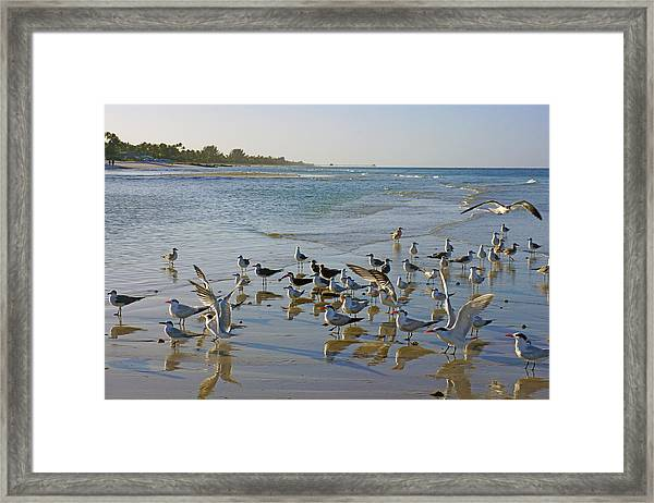 Terns And Seagulls On The Beach In Naples, Fl Framed Print