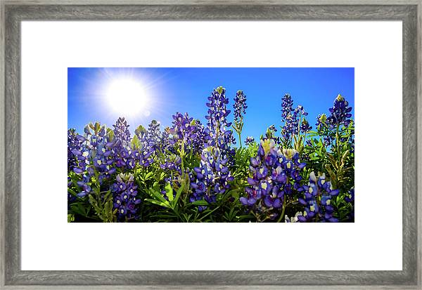 Texas Bluebonnets Backlit II Framed Print