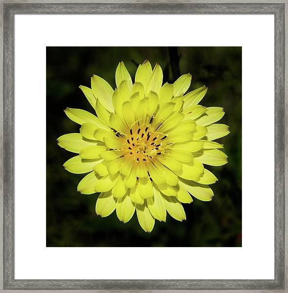 Texas Dandelion Framed Print