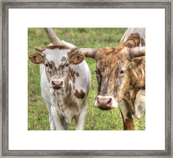 Longhorn Mother And Son Framed Print