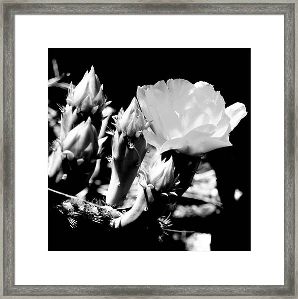 Texas Rose IIi Framed Print