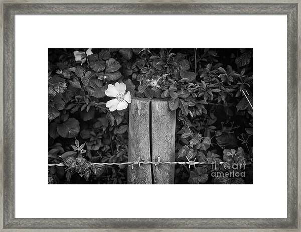 The Allotment Project - Dog Rose Framed Print