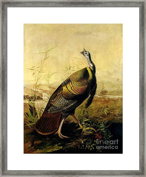 The American Wild Turkey Cock Framed Print