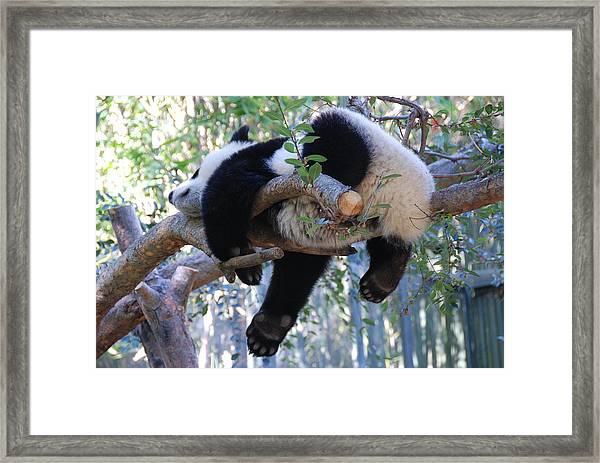 The Baby Panda's Sweet Dream Framed Print