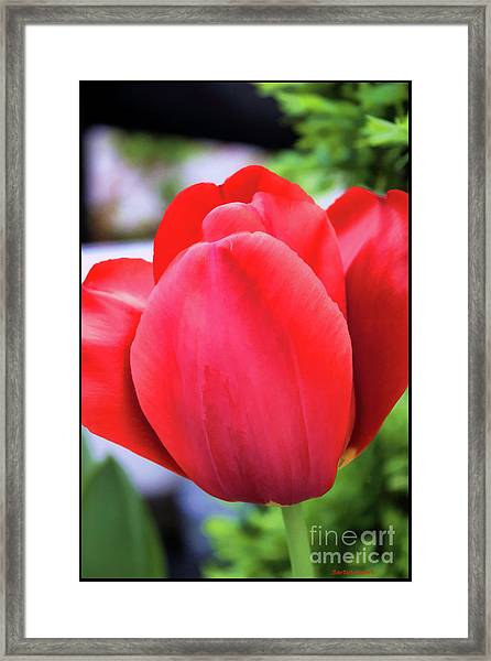 The Tulip Beauty Framed Print