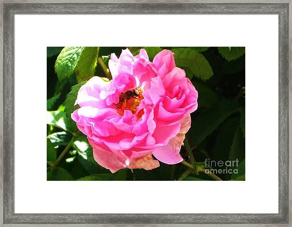 The Bee In The Rose Framed Print by Sunaina Serna Ahluwalia