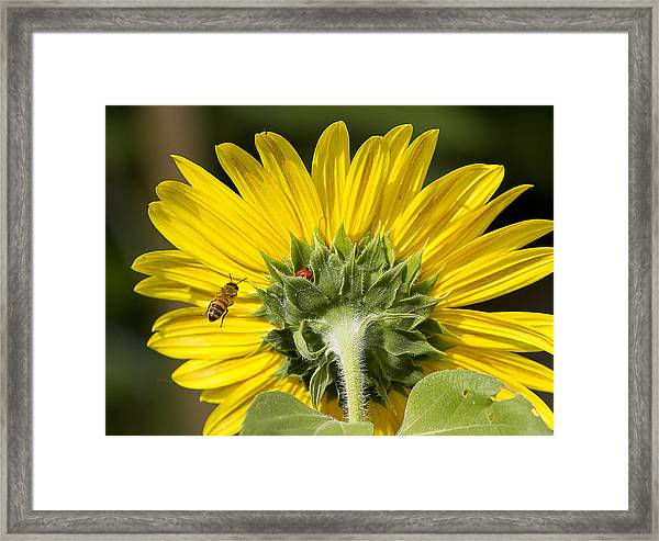 The Bee Lady Bug And Sunflower Framed Print