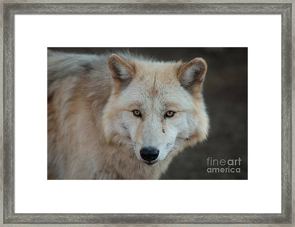 The Big Beautiful Wolf Framed Print