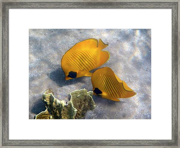 The Bluecheeked Butterflyfish Framed Print
