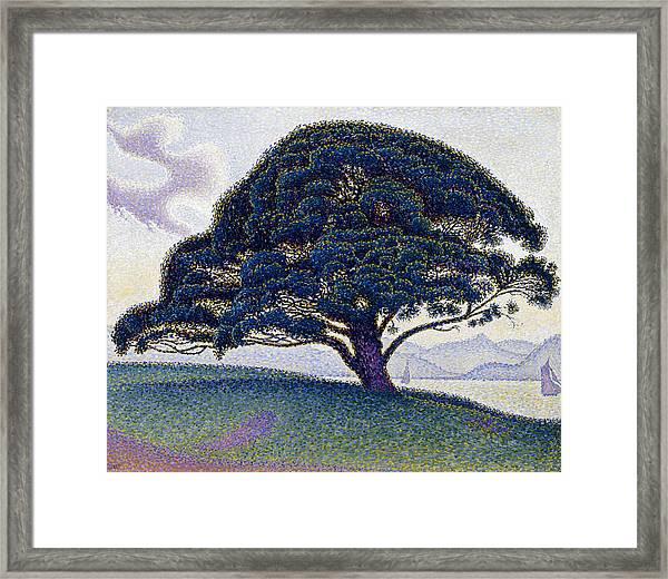 The Bonaventure Pine  Framed Print