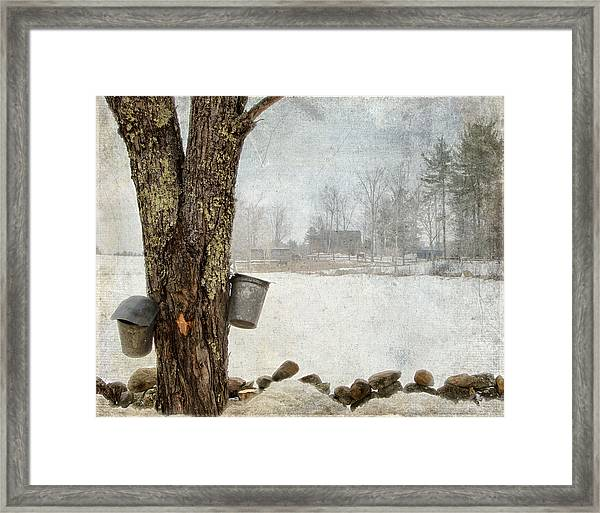 Collecting Sap For Making Maple Syrup Framed Print